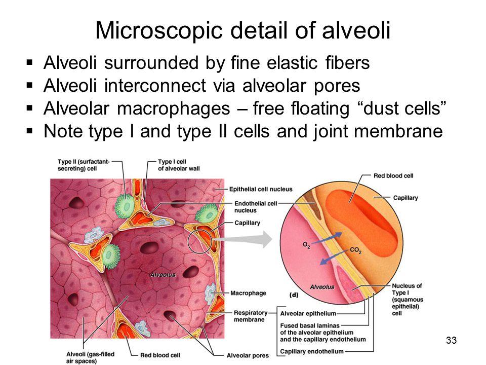 33 Microscopic detail of alveoli  Alveoli surrounded by fine elastic fibers  Alveoli interconnect via alveolar pores  Alveolar macrophages – free f