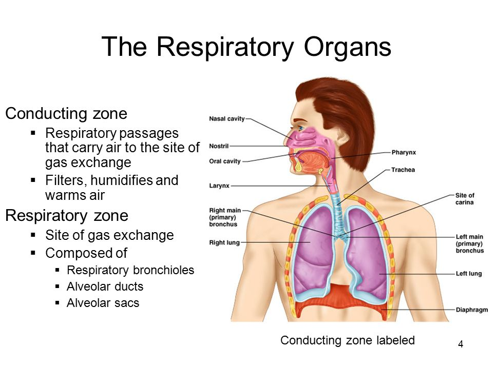 4 The Respiratory Organs Conducting zone  Respiratory passages that carry air to the site of gas exchange  Filters, humidifies and warms air Respira