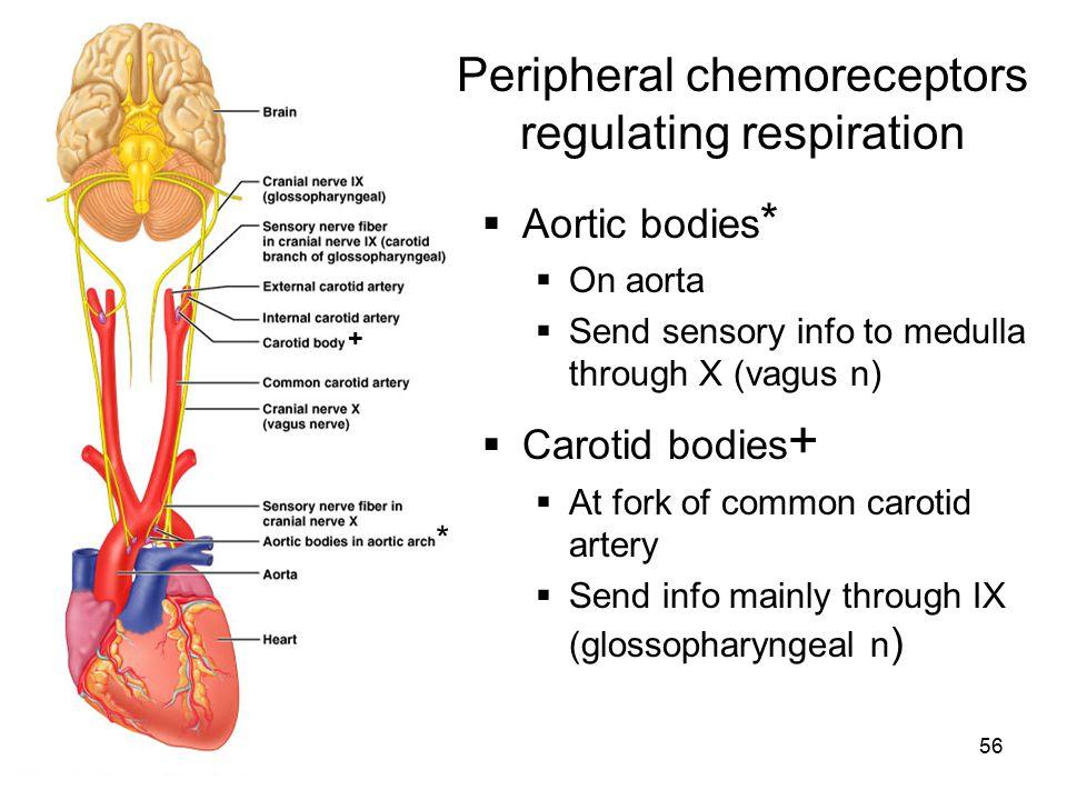 56 Peripheral chemoreceptors regulating respiration  Aortic bodies *  On aorta  Send sensory info to medulla through X (vagus n)  Carotid bodies +