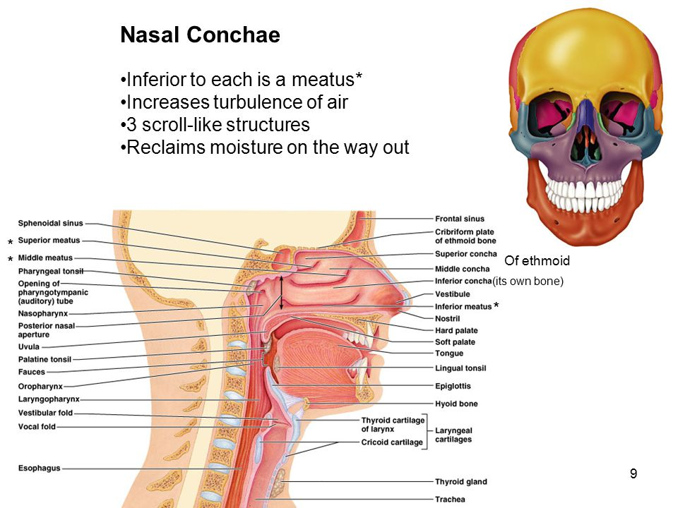 9 Nasal Conchae Inferior to each is a meatus* Increases turbulence of air 3 scroll-like structures Reclaims moisture on the way out * * * (its own bon