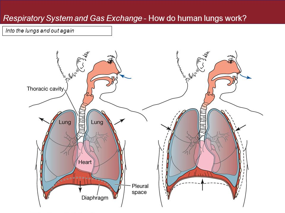 Into the lungs and out again