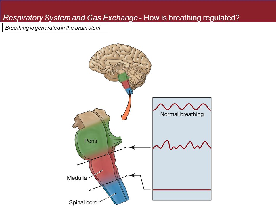 Breathing is generated in the brain stem