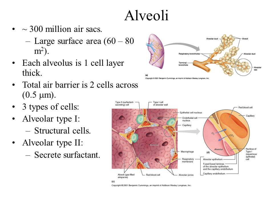 Alveoli ~ 300 million air sacs. –Large surface area (60 – 80 m 2 ). Each alveolus is 1 cell layer thick. Total air barrier is 2 cells across (0.5  m)