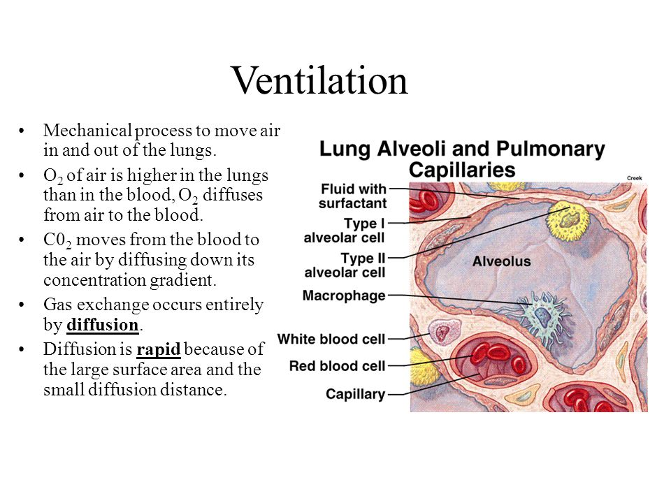 Ventilation Mechanical process to move air in and out of the lungs. O 2 of air is higher in the lungs than in the blood, O 2 diffuses from air to the