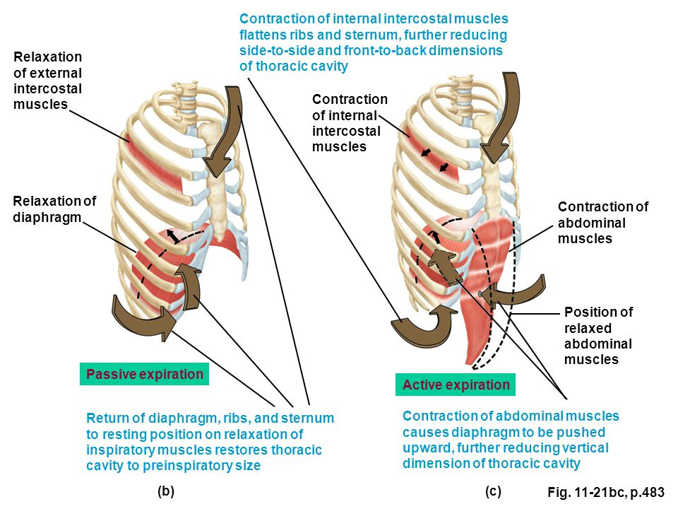 Fig. 11-21bc, p.483 Active expiration (c) (b) Contraction of internal intercostal muscles flattens ribs and sternum, further reducing side-to-side and