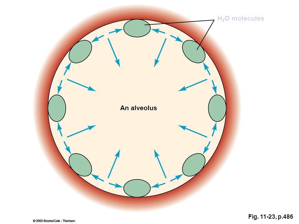 Fig. 11-23, p.486 An alveolus H 2 O molecules