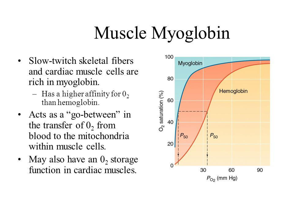 Muscle Myoglobin Slow-twitch skeletal fibers and cardiac muscle cells are rich in myoglobin. –Has a higher affinity for 0 2 than hemoglobin. Acts as a