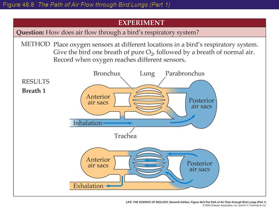 Figure 48.8 The Path of Air Flow through Bird Lungs (Part 1)