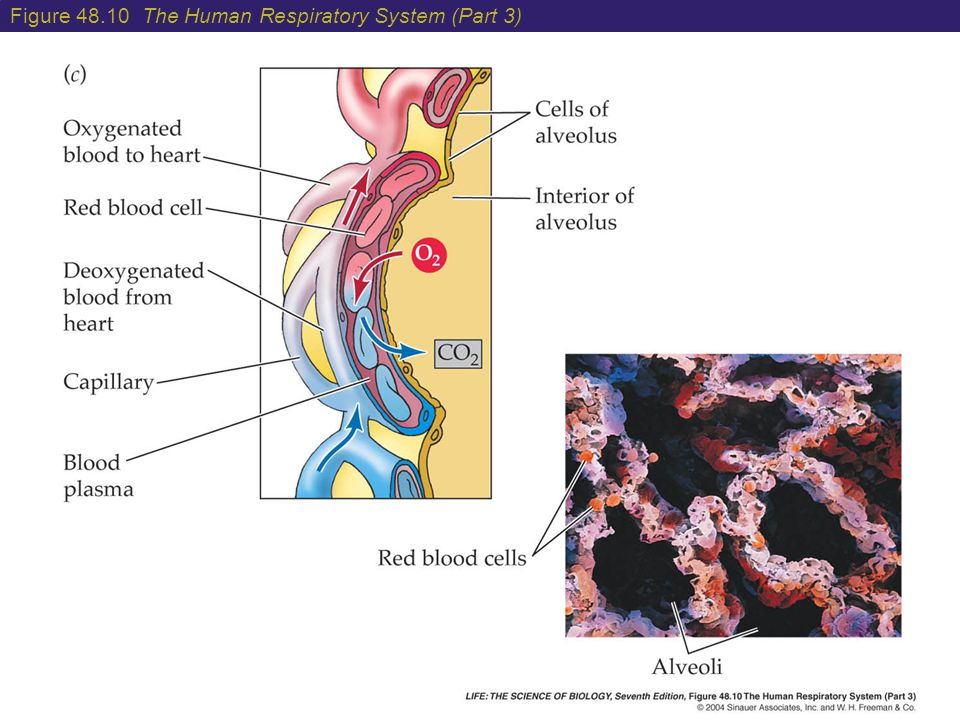 Figure 48.10 The Human Respiratory System (Part 3)