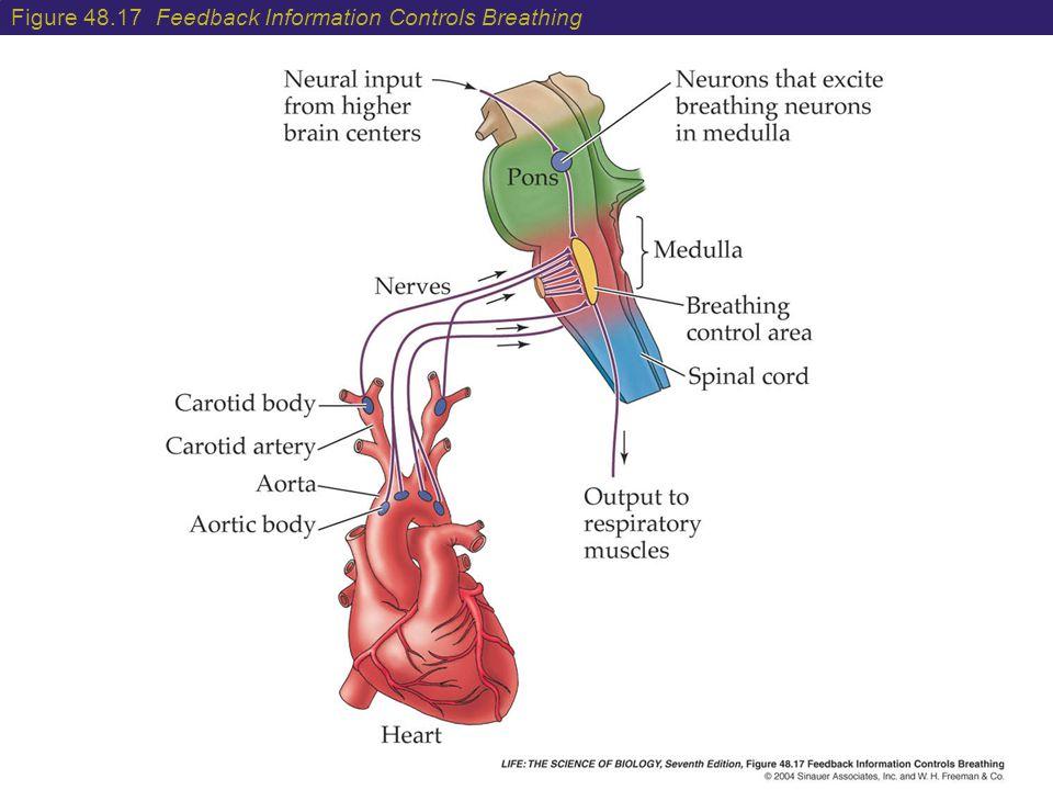 Figure 48.17 Feedback Information Controls Breathing