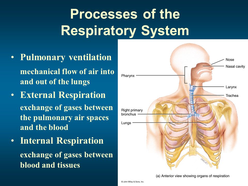 Structural Portions of the Respiratory System Upper Respiratory System Designed to conduct air into and out of the Lower Respiratory System