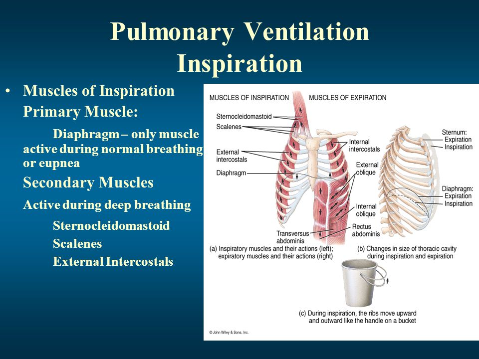 Pulmonary Ventilation Expiration Muscles of Expiration Primary Muscle: Diaphragm is inactive Secondary Muscles active during deep breathing: Internal Intercostals External Oblique Internal Oblique Transversus Abdominis Rectus Abdominis