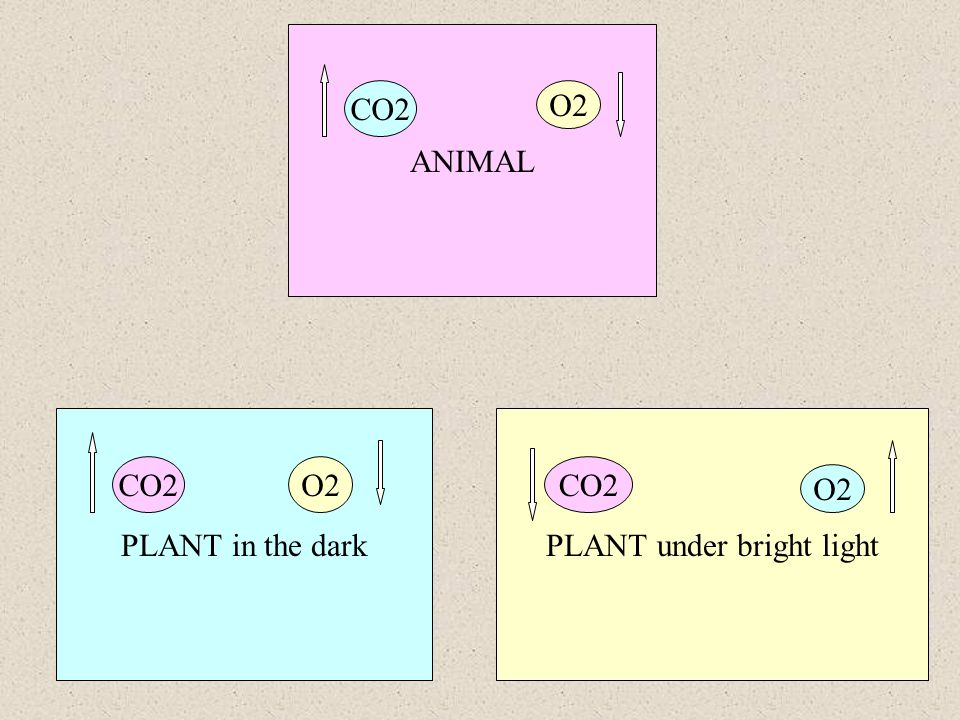 ANIMAL PLANT in the darkPLANT under bright light CO2O2 CO2 O2 CO2 O2