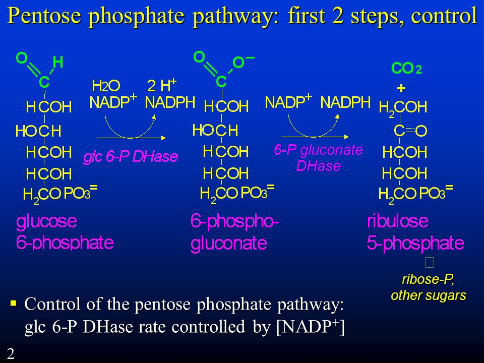 Pentose phosphate pathway: first 2 steps, control  Control of the pentose phosphate pathway: glc 6-P DHase rate controlled by [NADP + ] 6-P gluconate DHase  ribose-P, other sugars 2