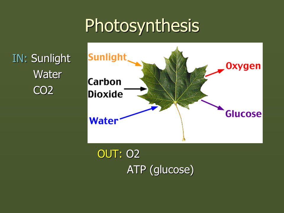Photosynthesis IN: Sunlight Water Water CO2 CO2 OUT: O2 ATP (glucose) ATP (glucose)