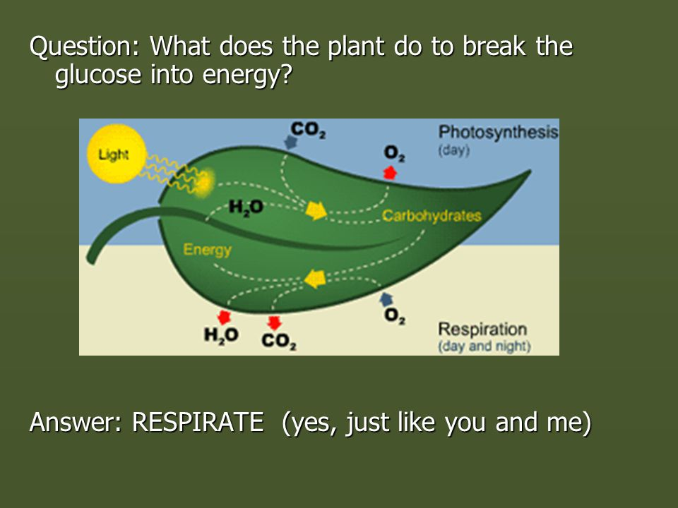 Question: What does the plant do to break the glucose into energy.