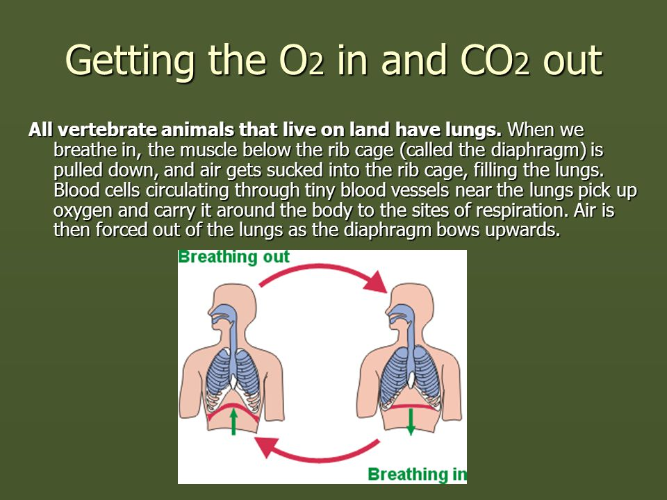 Getting the O 2 in and CO 2 out All vertebrate animals that live on land have lungs. When we breathe in, the muscle below the rib cage (called the dia
