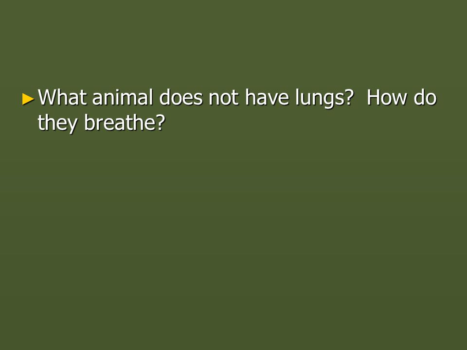 ► What animal does not have lungs? How do they breathe?