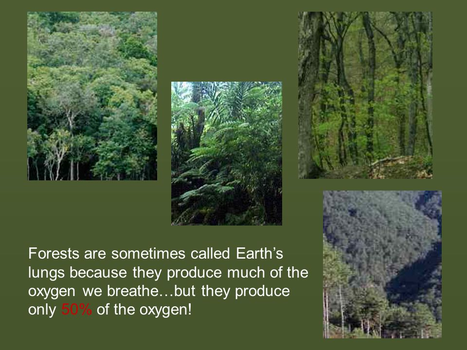 Forests are sometimes called Earth's lungs because they produce much of the oxygen we breathe…but they produce only 50% of the oxygen!