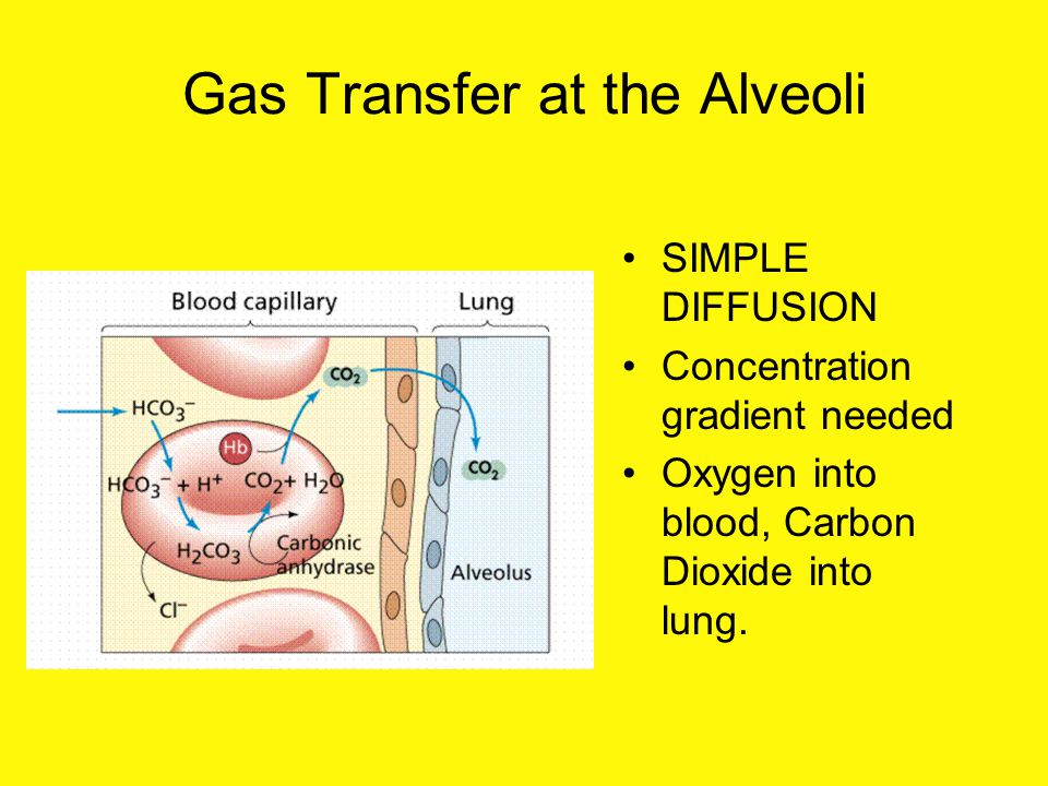 Gas Transfer at the Alveoli SIMPLE DIFFUSION Concentration gradient needed Oxygen into blood, Carbon Dioxide into lung.