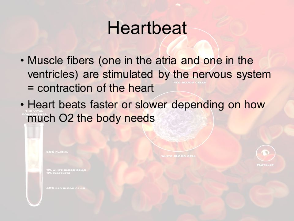 Heartbeat Muscle fibers (one in the atria and one in the ventricles) are stimulated by the nervous system = contraction of the heart Heart beats faster or slower depending on how much O2 the body needs