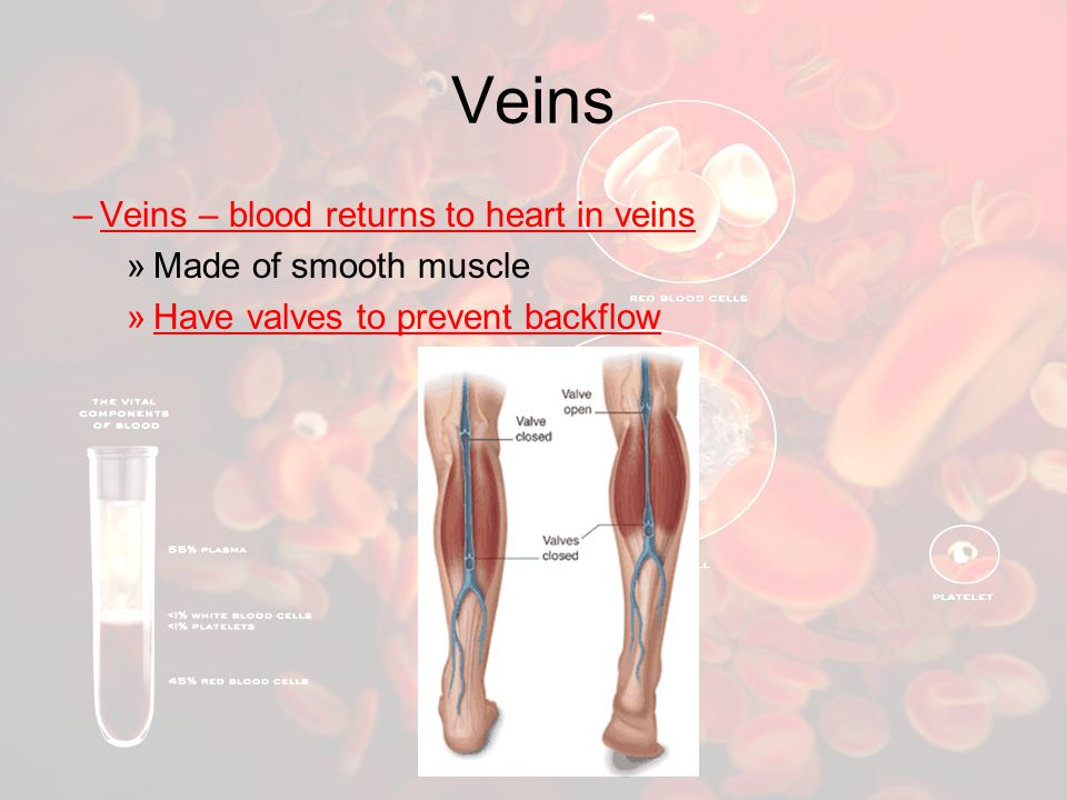 Veins –Veins – blood returns to heart in veins »Made of smooth muscle »Have valves to prevent backflow