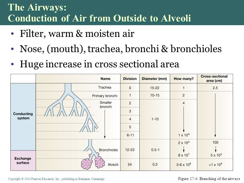 Copyright © 2004 Pearson Education, Inc., publishing as Benjamin Cummings Filter, warm & moisten air Nose, (mouth), trachea, bronchi & bronchioles Huge increase in cross sectional area The Airways: Conduction of Air from Outside to Alveoli Figure 17-4: Branching of the airways