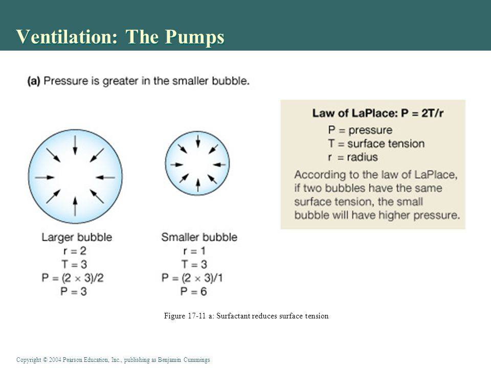 Ventilation: The Pumps Figure 17-11 a: Surfactant reduces surface tension
