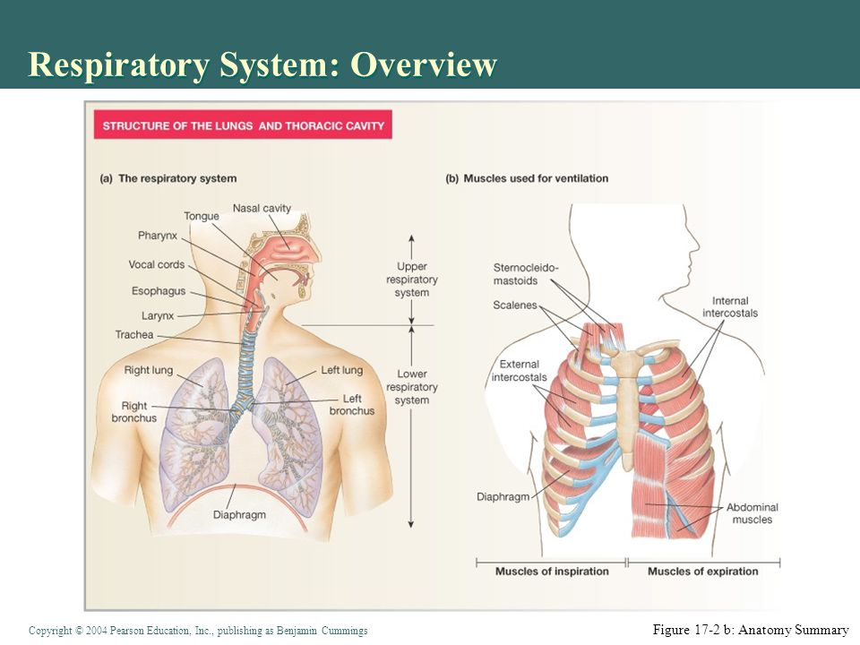 Copyright © 2004 Pearson Education, Inc., publishing as Benjamin Cummings Matching Ventilation with Alveolar Blood Flow (Perfusion) Mostly local regulation Low [O 2 ] in alveoli  vasoconstriction of arteriole Reduced blood flow at rest (lung apex ) saves energy High blood [CO 2 ]  bronchodilation