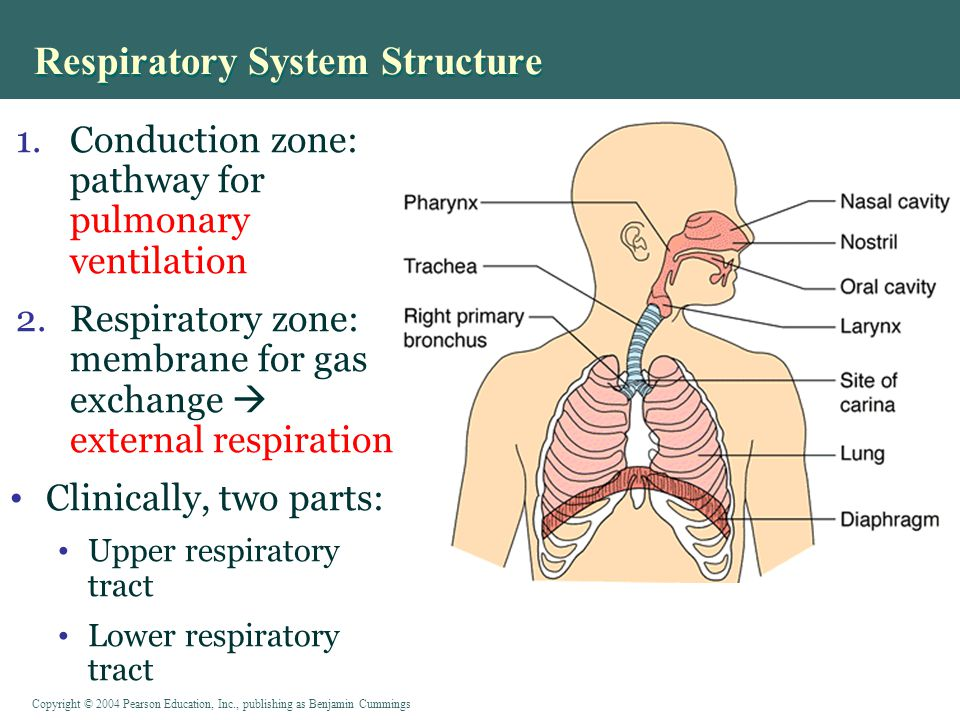 Copyright © 2004 Pearson Education, Inc., publishing as Benjamin Cummings Respiratory System Structure 1.Conduction zone: pathway for pulmonary ventilation 2.Respiratory zone: membrane for gas exchange  external respiration Clinically, two parts: Upper respiratory tract Lower respiratory tract