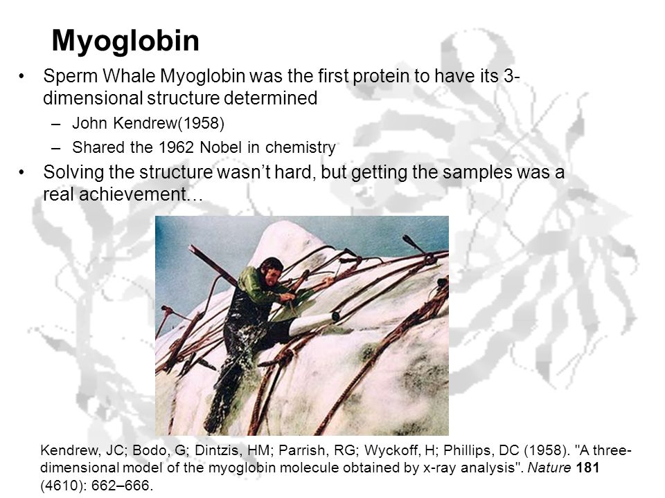 Myoglobin Sperm Whale Myoglobin was the first protein to have its 3- dimensional structure determined –John Kendrew(1958) –Shared the 1962 Nobel in chemistry Solving the structure wasn't hard, but getting the samples was a real achievement… Kendrew, JC; Bodo, G; Dintzis, HM; Parrish, RG; Wyckoff, H; Phillips, DC (1958).