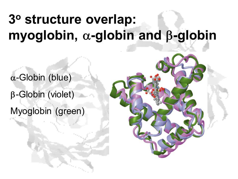 3 o structure overlap: myoglobin,  -globin and  -globin  -Globin (blue)  -Globin (violet) Myoglobin (green)