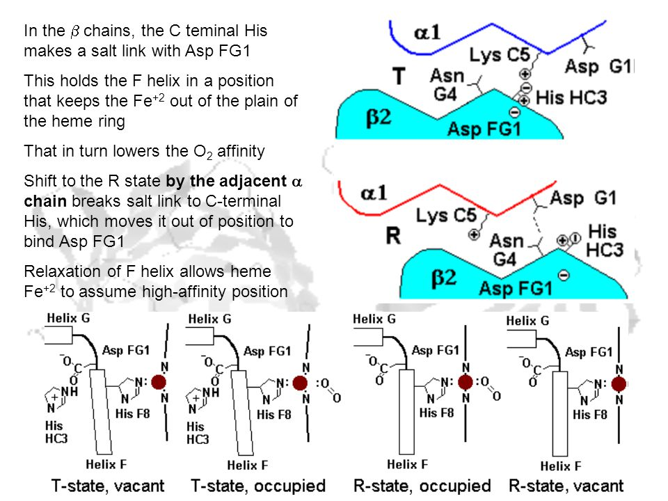 In the  chains, the C teminal His makes a salt link with Asp FG1 This holds the F helix in a position that keeps the Fe +2 out of the plain of the heme ring That in turn lowers the O 2 affinity Shift to the R state by the adjacent  chain breaks salt link to C-terminal His, which moves it out of position to bind Asp FG1 Relaxation of F helix allows heme Fe +2 to assume high-affinity position