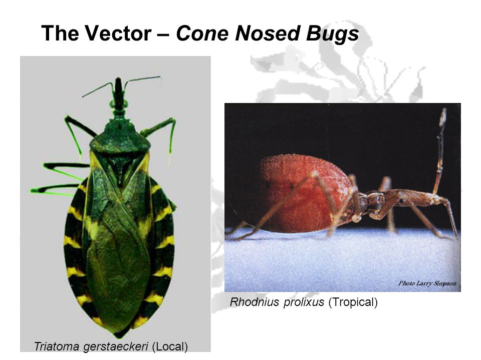 The Vector – Cone Nosed Bugs Triatoma gerstaeckeri (Local) Rhodnius prolixus (Tropical)
