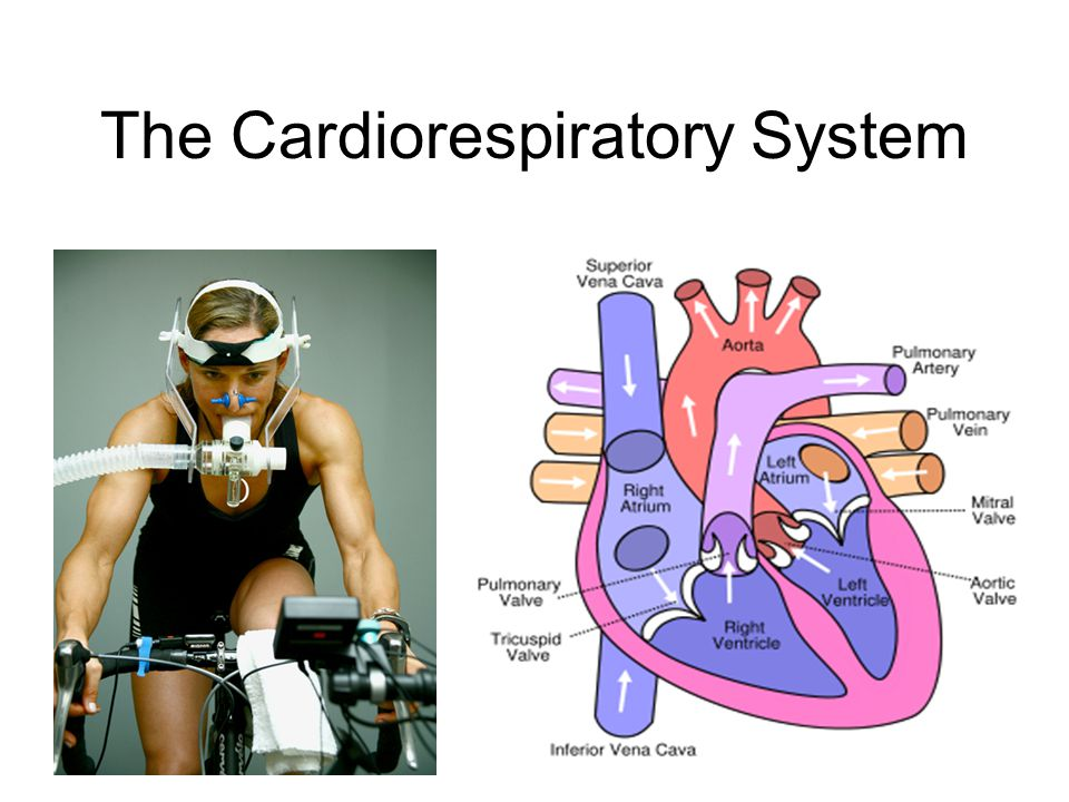 The Cardiorespiratory System