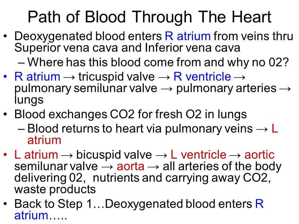 Path of Blood Through The Heart Deoxygenated blood enters R atrium from veins thru Superior vena cava and Inferior vena cava –Where has this blood come from and why no 02.
