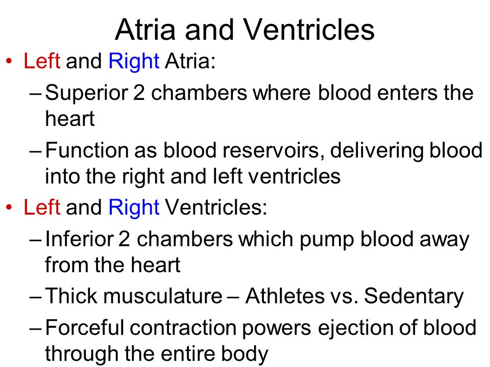 Atria and Ventricles Left and Right Atria: –Superior 2 chambers where blood enters the heart –Function as blood reservoirs, delivering blood into the right and left ventricles Left and Right Ventricles: –Inferior 2 chambers which pump blood away from the heart –Thick musculature – Athletes vs.