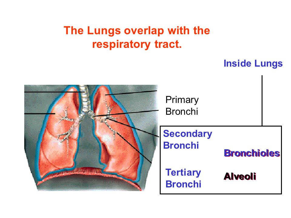 The Lungs overlap with the respiratory tract. Secondary Bronchi Tertiary Bronchi Bronchioles Alveoli Bronchioles Alveoli Primary Bronchi Inside Lungs