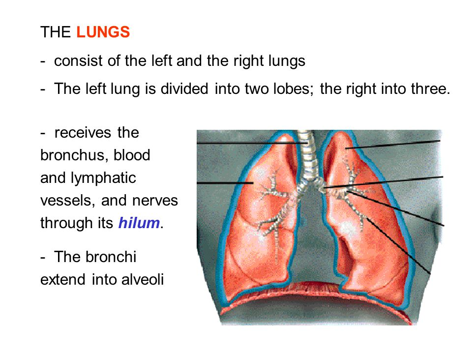 THE LUNGS - consist of the left and the right lungs - The left lung is divided into two lobes; the right into three. - receives the bronchus, blood an