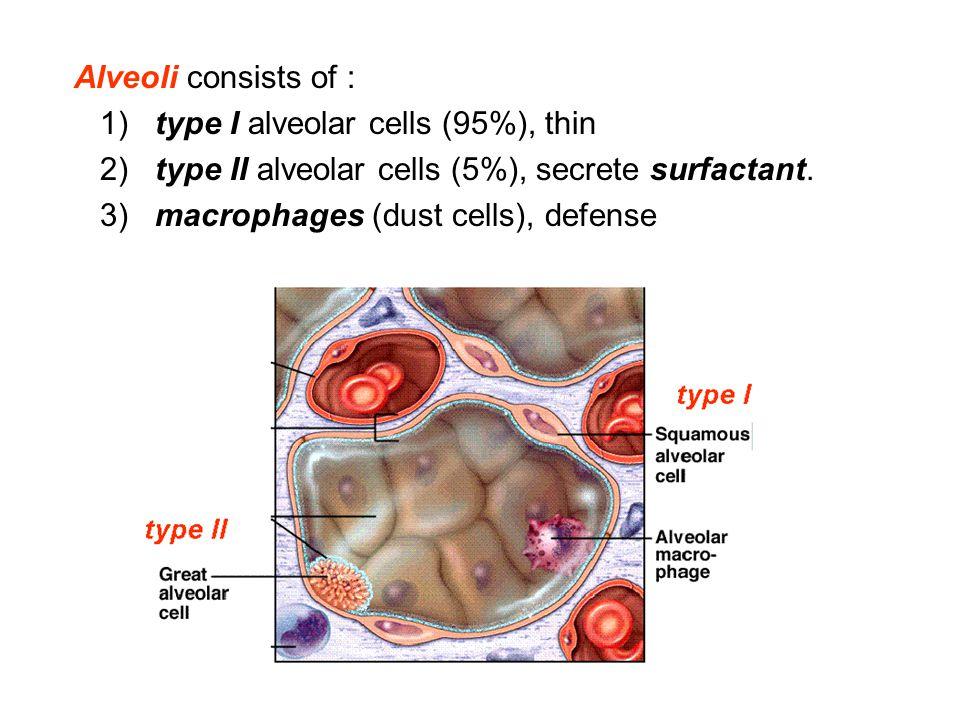 Alveoli consists of : 1) type I alveolar cells (95%), thin 2) type II alveolar cells (5%), secrete surfactant. 3) macrophages (dust cells), defense
