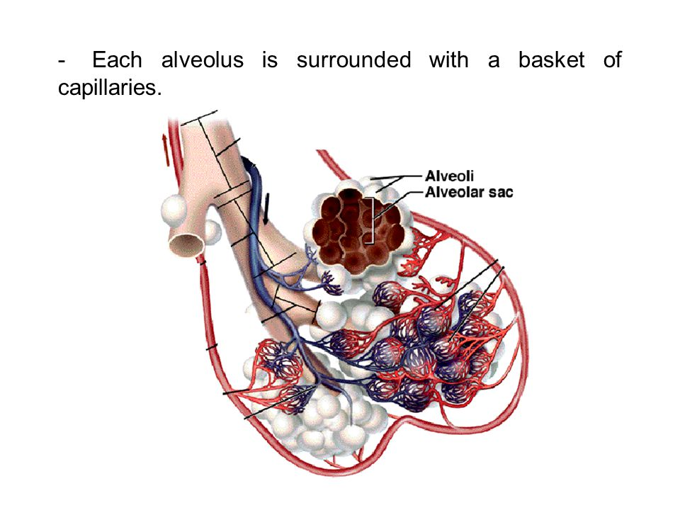 -Each alveolus is surrounded with a basket of capillaries.