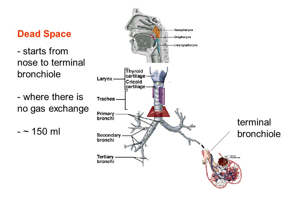 Dead Space - starts from nose to terminal bronchiole - where there is no gas exchange - ~ 150 ml terminal bronchiole