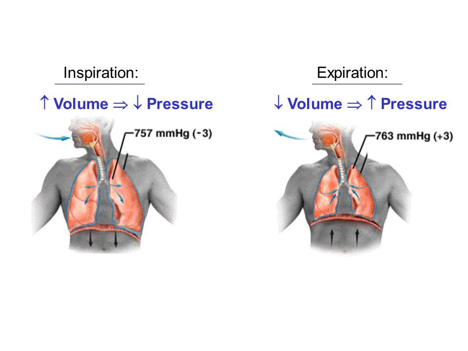  Volume   Pressure  Volume   Pressure Inspiration:Expiration: