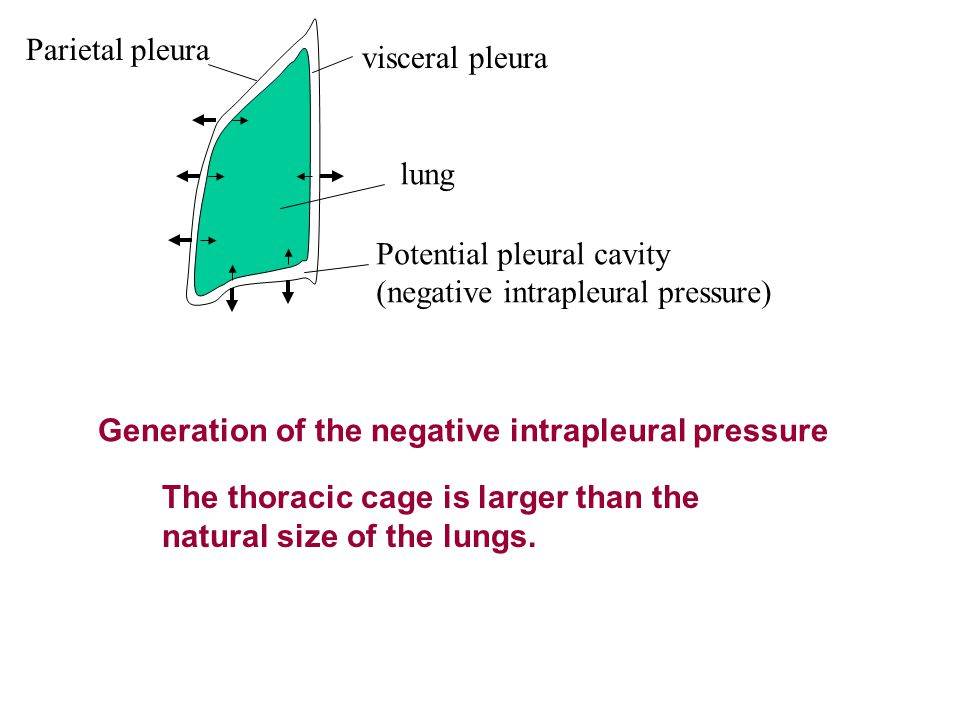 Parietal pleura visceral pleura Potential pleural cavity (negative intrapleural pressure) lung The thoracic cage is larger than the natural size of th