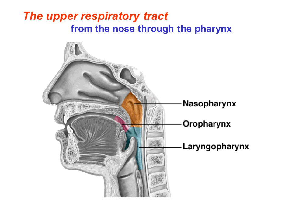 The upper respiratory tract from the nose through the pharynx