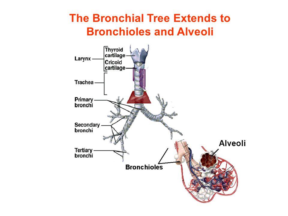 Alveoli The Bronchial Tree Extends to Bronchioles and Alveoli