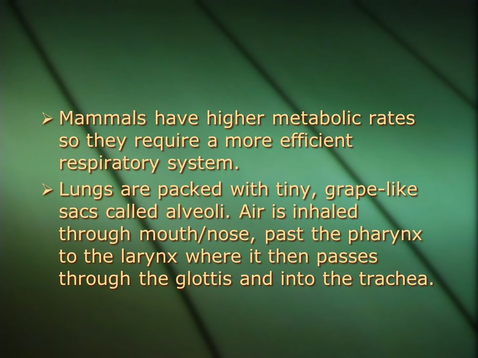  Mammals have higher metabolic rates so they require a more efficient respiratory system.  Lungs are packed with tiny, grape-like sacs called alveol