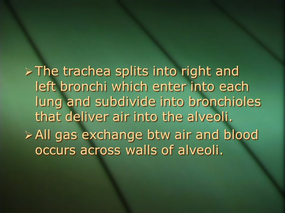  The trachea splits into right and left bronchi which enter into each lung and subdivide into bronchioles that deliver air into the alveoli.  All ga