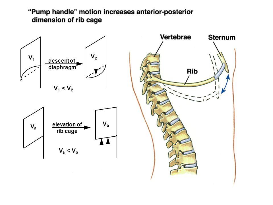 descent of diaphragm elevation of rib cage V1V1 V2V2 VaVa VbVb V 1 < V 2 V a < V b