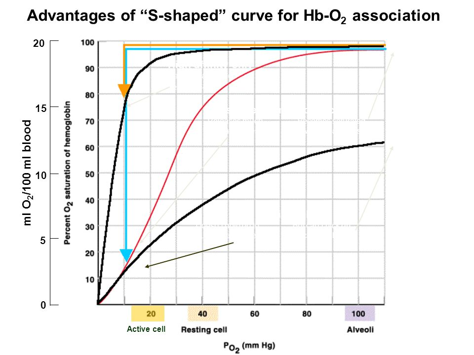 ml O 2 /100 ml blood 0 5 10 15 20 High affinity only Can't release much O 2 to tissues Low affinity only Doesn't hold on to But can't pick up much O 2 at tissues much O 2 at lungs S-shaped hemoglobin curve Releases much Becomes saturated O2 at tissues with O 2 at lungs Advantages of S-shaped curve for Hb-O 2 association Active cell